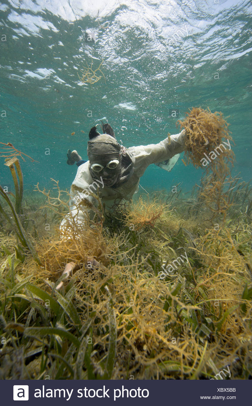 Philippine diver harvesting seaweed. Using a T-Shirt on his head as sun protection, Philippines, Pacific Ocean, Southeast Asia Stock Photo