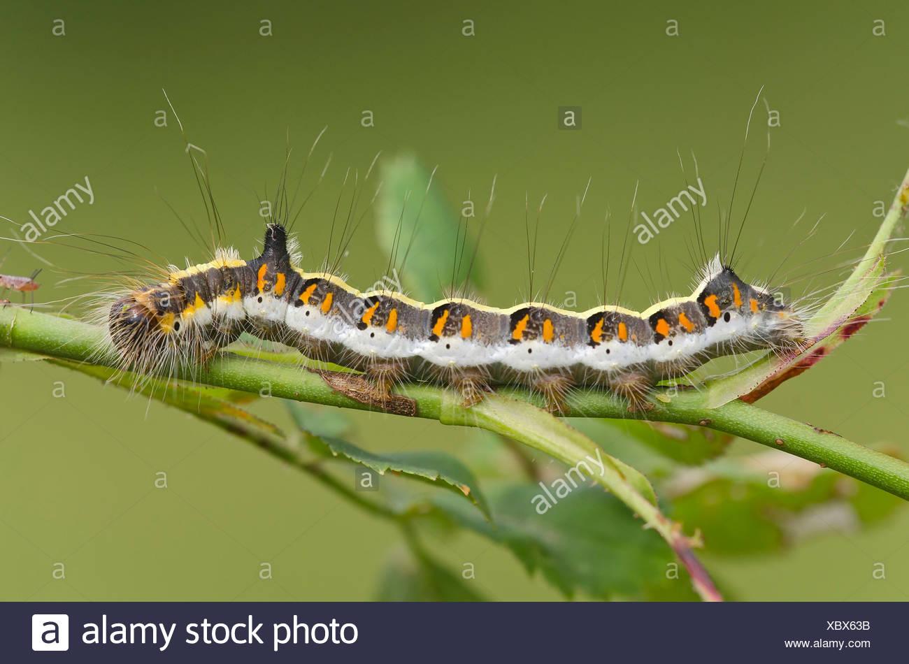 Caterpillar of a Grey Dagger Moth (Acronicta psi), Burgenland, Austria - Stock Image
