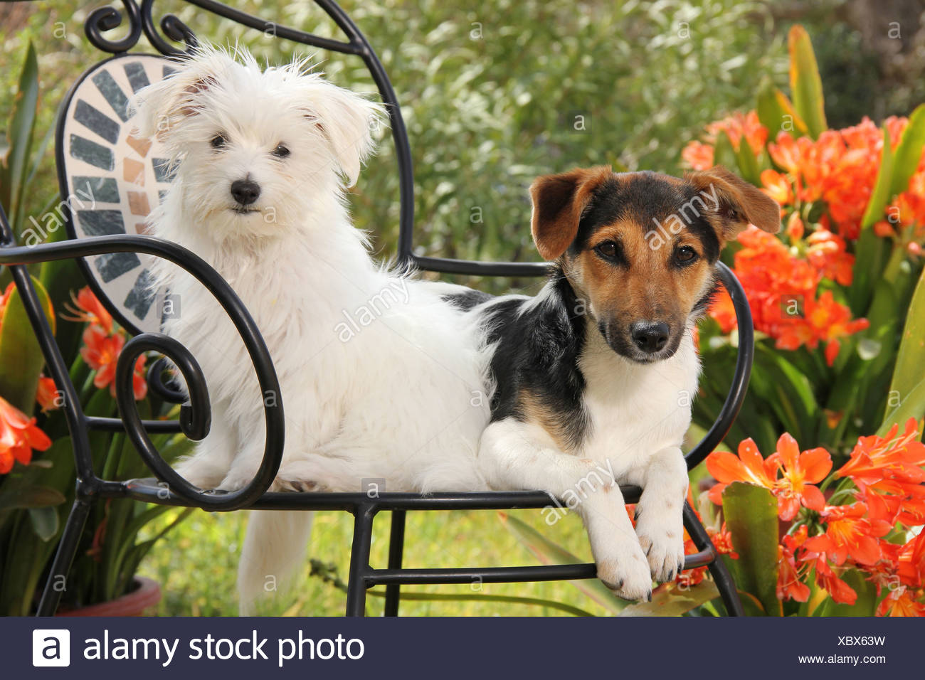 Juvenile Maltese and Jack Russell Terrier on a chair in a flowering garden - Stock Image