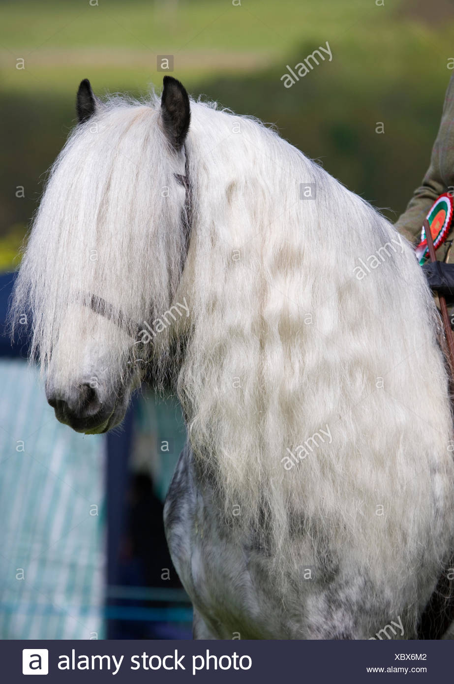 Head portrait of a rare grey Yorkshire Dales gelding (Equus caballus) with long mane, at Glanusk Estate, Wales, UK - Stock Image