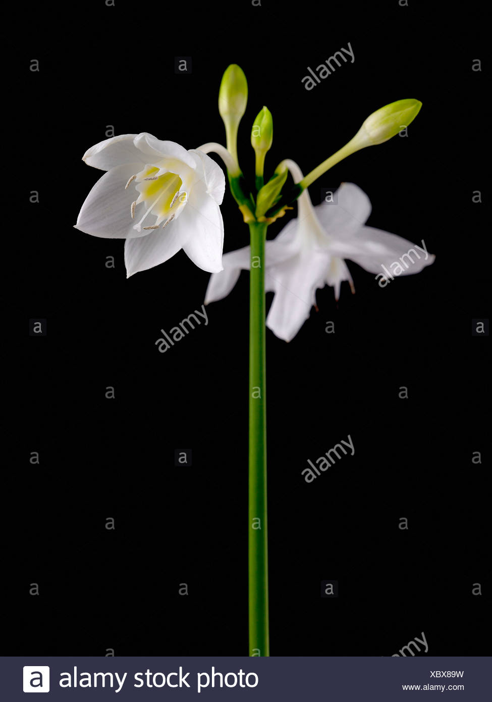Eucharis grandiflora, Amazon lily, White, Black. - Stock Image