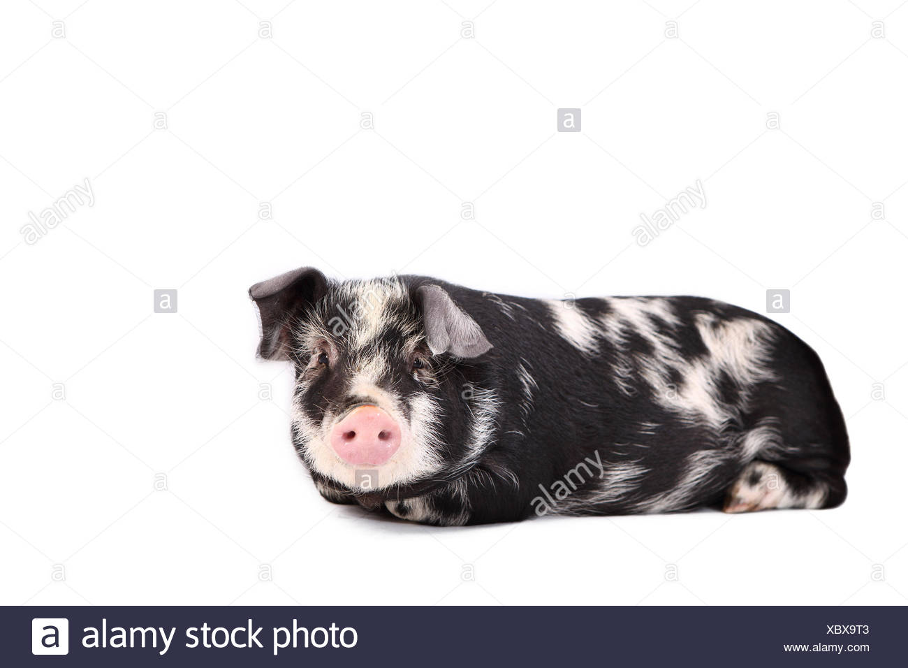 Turopolje Pig. Piglet lying. Studio picture against a white background. Germany Stock Photo