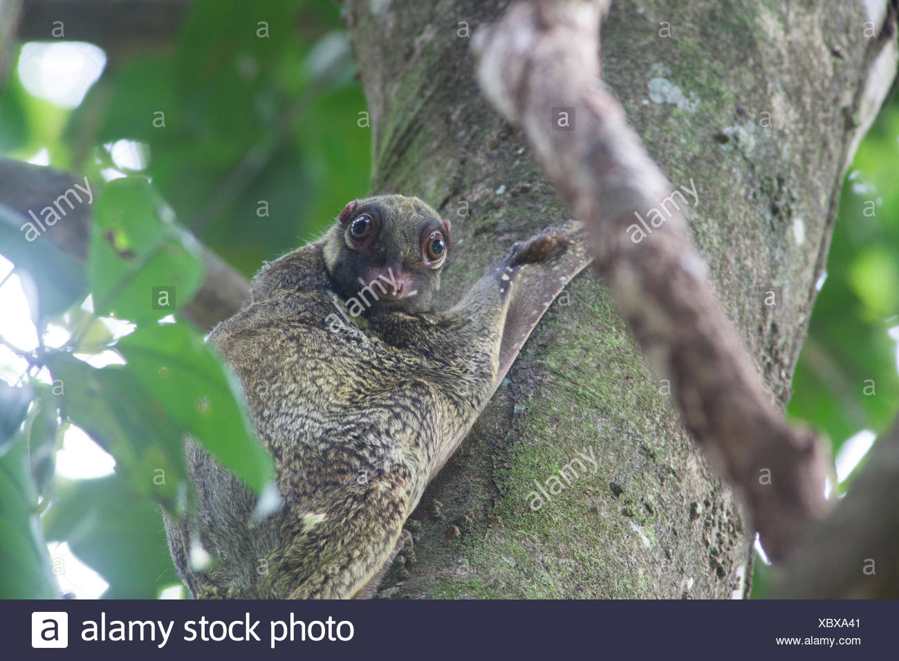 A sunda flying lemur, Galeopterus variegatus, rests in a tree during the day. - Stock Image