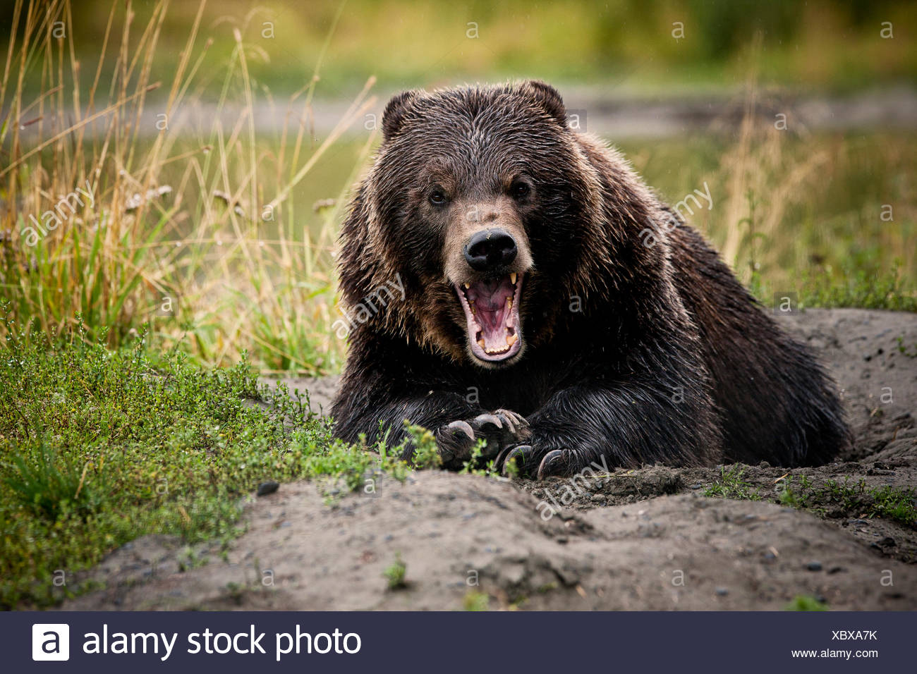 Grizzly Bear (Ursus arctos horribilis) with wide open jaws, threatening gesture, Valdez, Alaska, United States - Stock Image