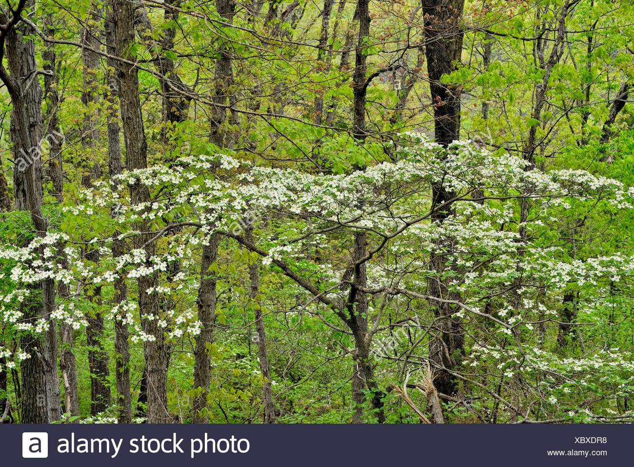 Dogwood Tree Flowering Arkansas Stock Photos & Dogwood Tree ...