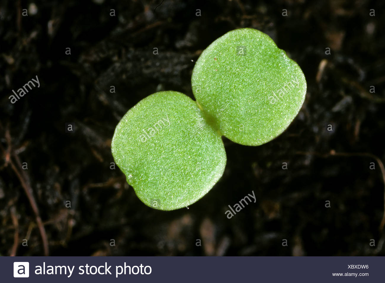 Gallant Soldier (Galinsoga parviflora) seedling cotyledons only - Stock Image