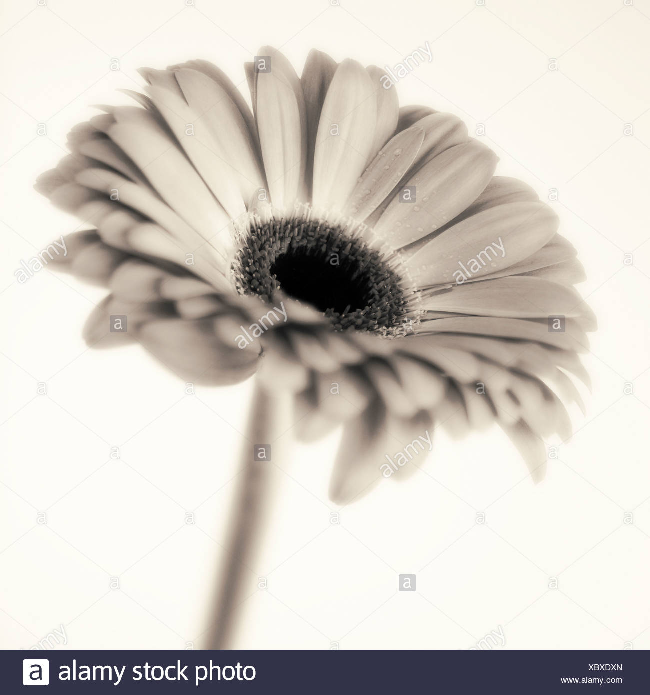 Studio close-up of gerbera daisy - Stock Image