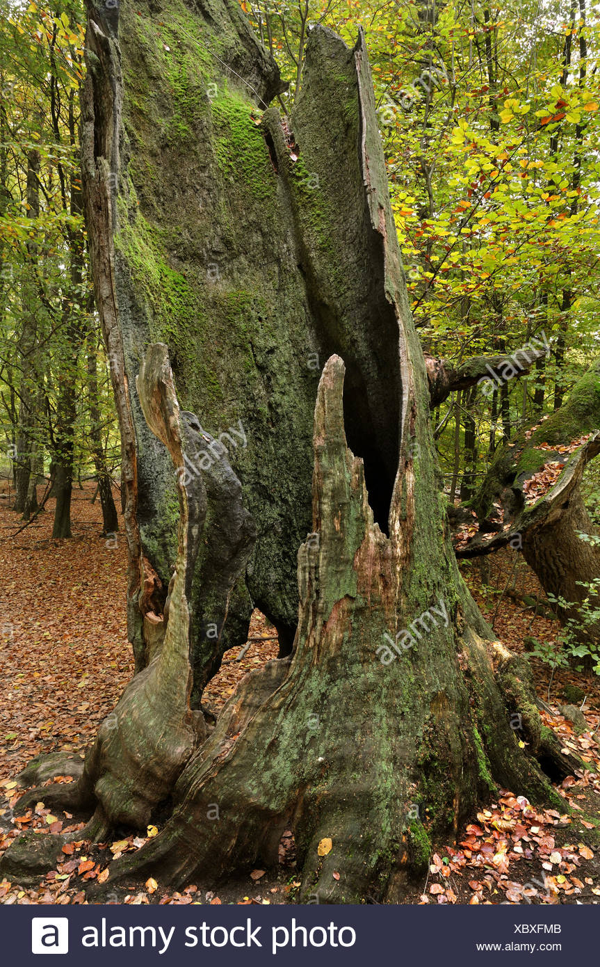 gnarled dead tree in the primeval forest Sababurg at the Reinhardswald, Germany, Hesse - Stock Image