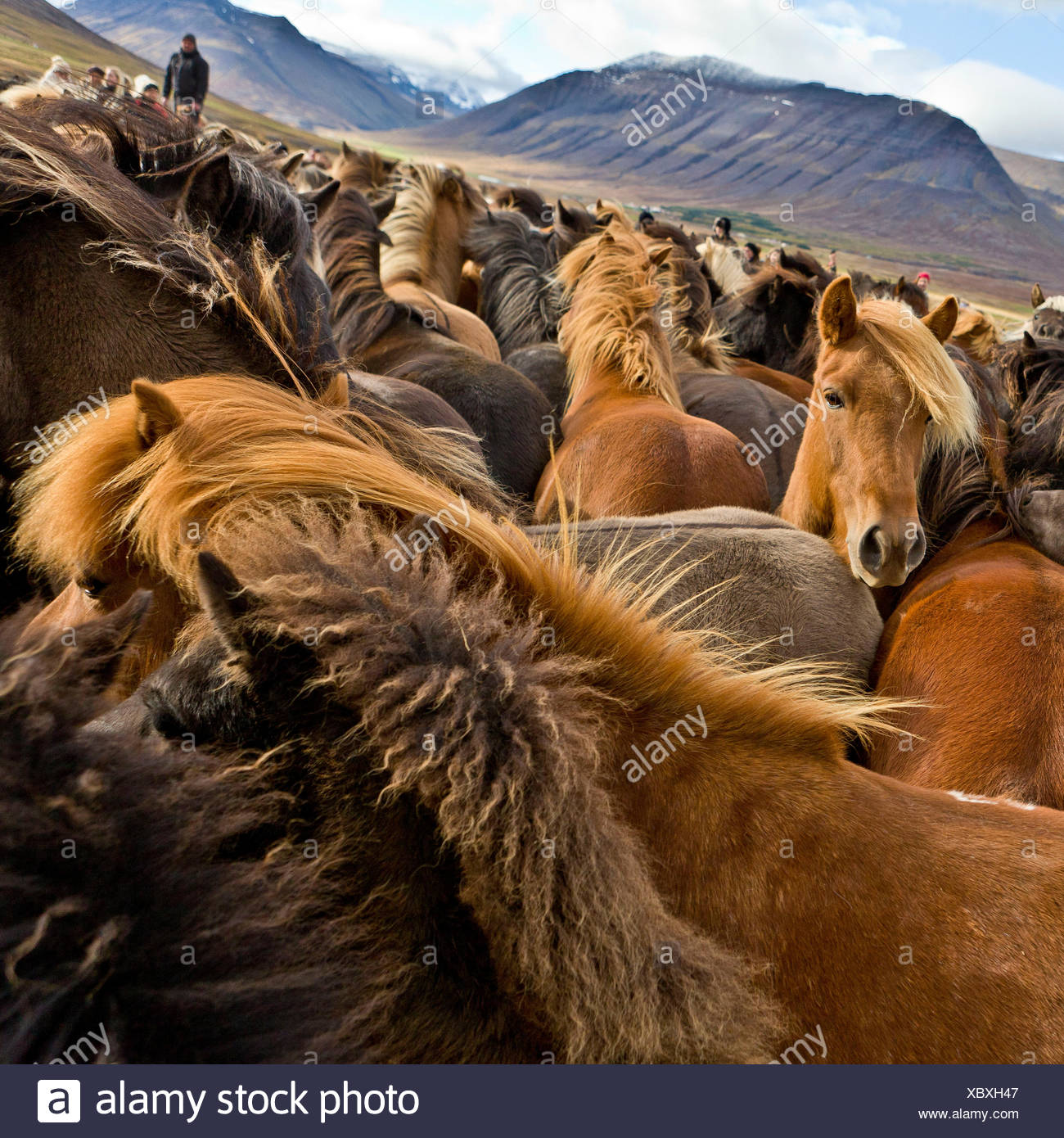 Annual Horse Round Up-Laufskalarett, Skagafjordur, Iceland Farmers keep up a long tradition of letting their horses roam around freely in the commons during the summer, Every autumn horses are rounded up and sorted, Stock Photo