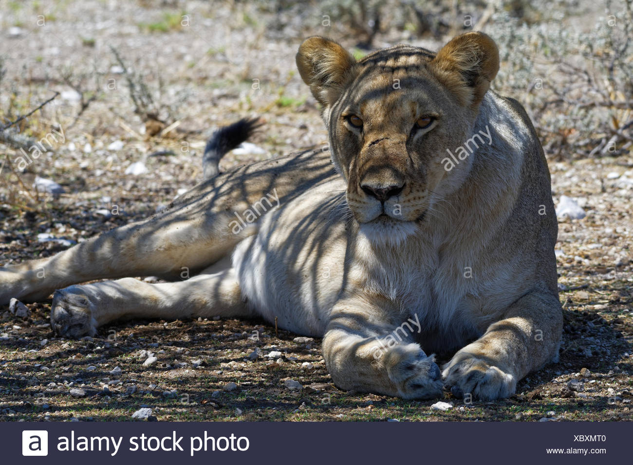 African lion (Panthera leo), lioness lying in the shade of a tree, head up, alert, Etosha National Park, Namibia - Stock Image