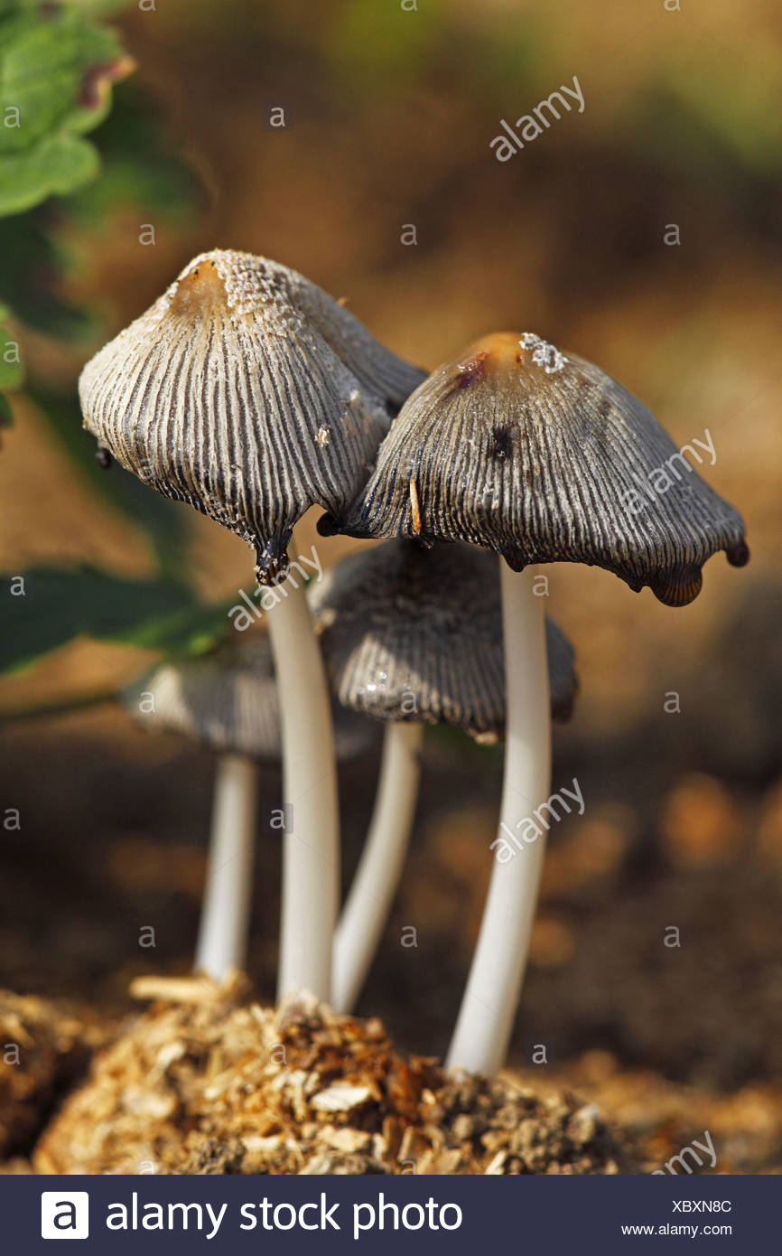 glistening inkcap (Coprinus micaceus), four fruiting bodies, Germany, Baden-Wuerttemberg - Stock Image