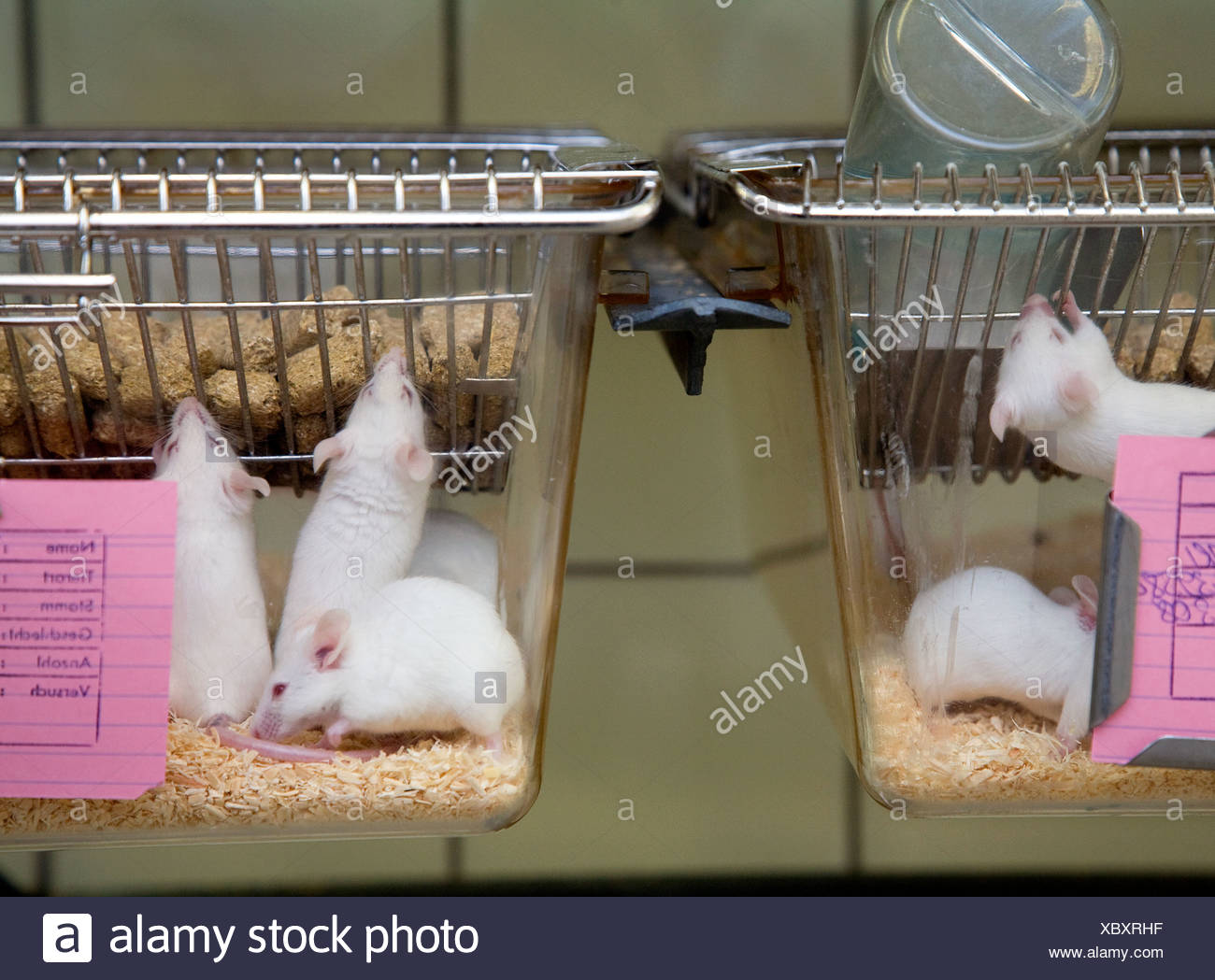 Lab Mouse Cage Stock Photos & Lab Mouse Cage Stock Images