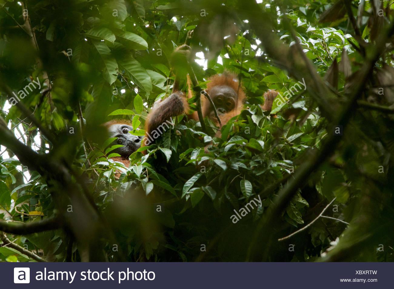 An adult female Bornean orangutan, Pongo pygmaeus wurmbii, and juvenile rest in a tree in Gunung Palung National Park. - Stock Image