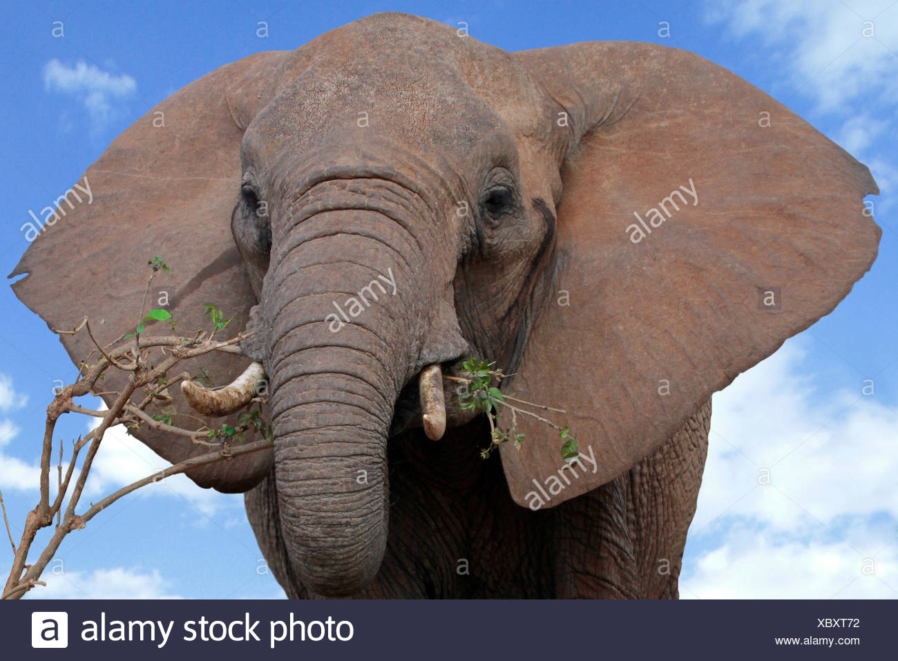 African elephant (Loxodonta africana), feeding a twig, Tanzania, Tarangire National Park - Stock Image