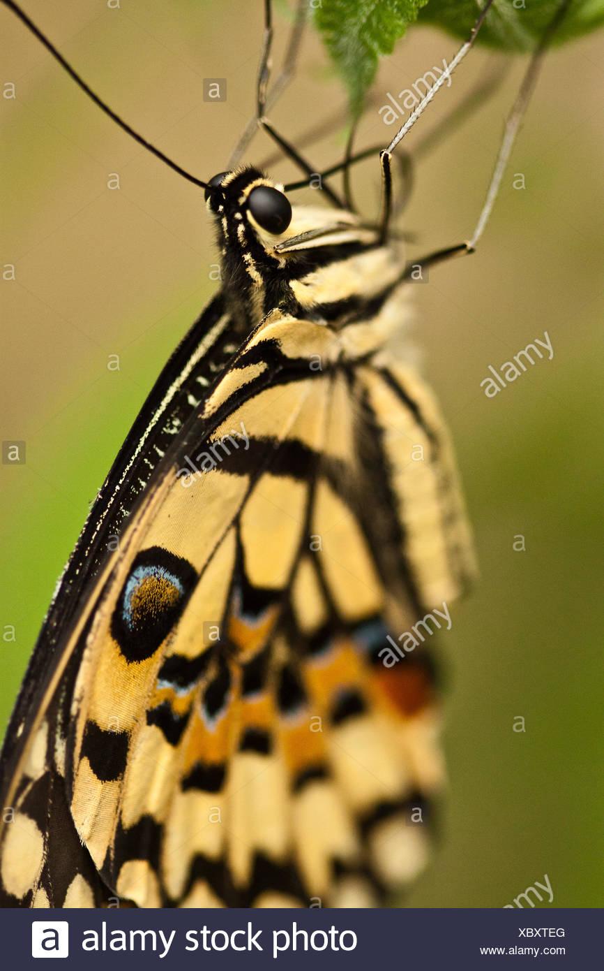 Common Lime Butterfly (Papilio demoleus) Stock Photo