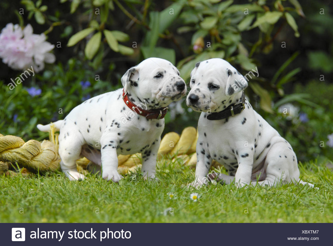 Two Dalmatian puppies three weeks old side by side - Stock Image