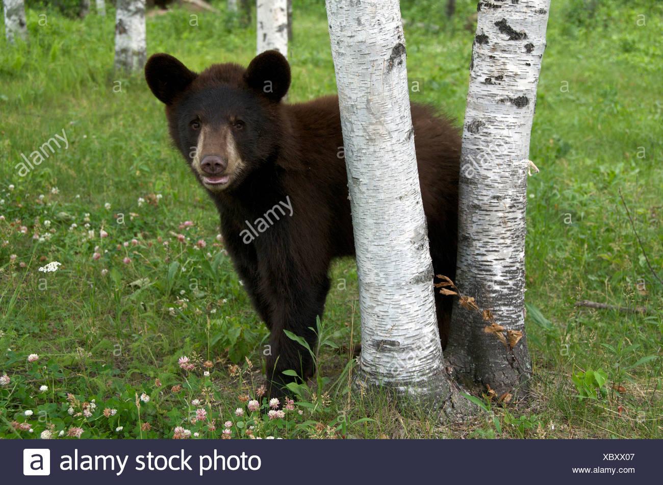A wild male Black Bear (Ursus americanus) standing next to aspen trees in Sleeping Giant Provincial Park, Ontario, Canada Stock Photo
