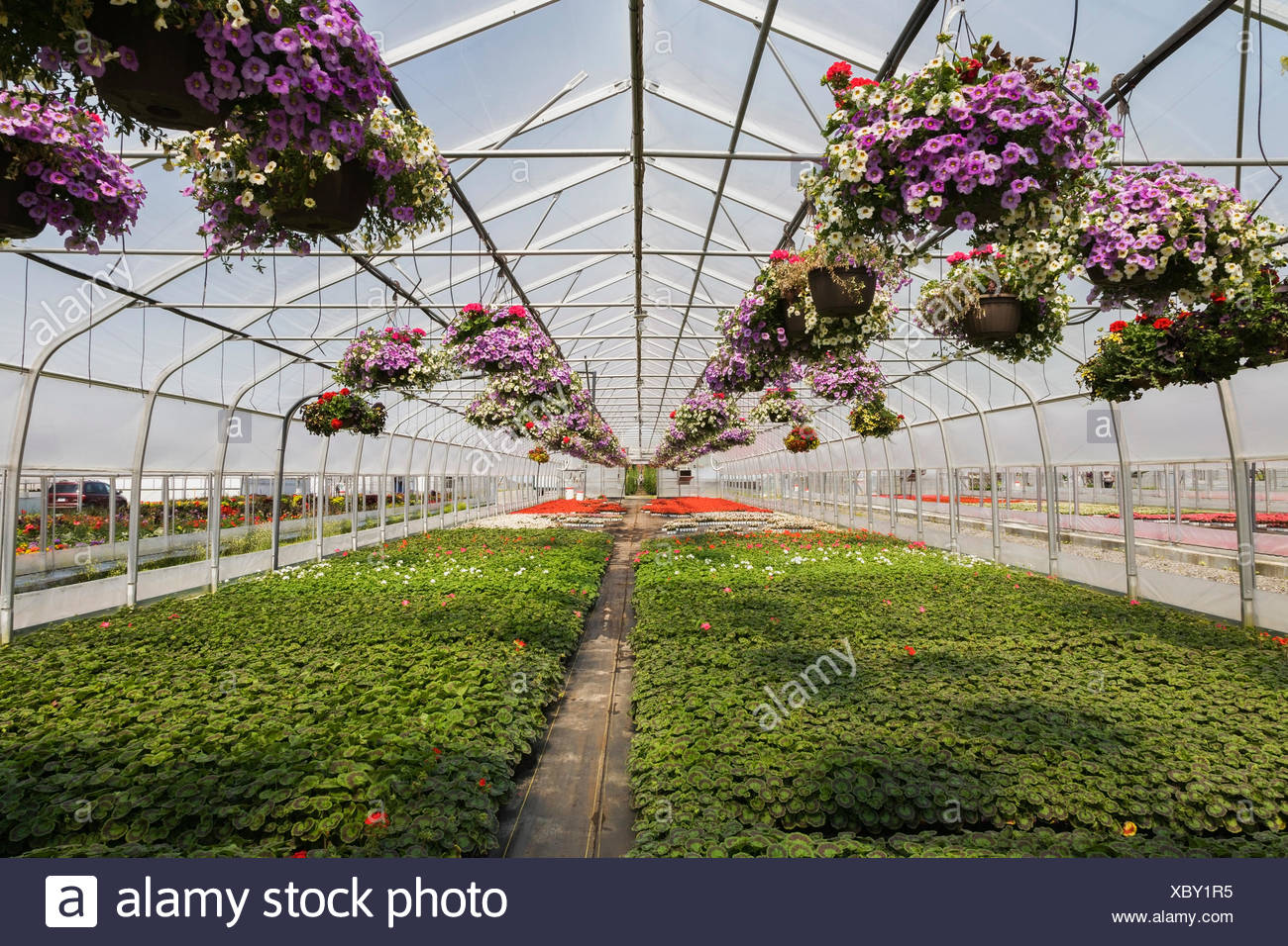 Commercial Greenhouse With Mixed Flowering Plants Petunias In