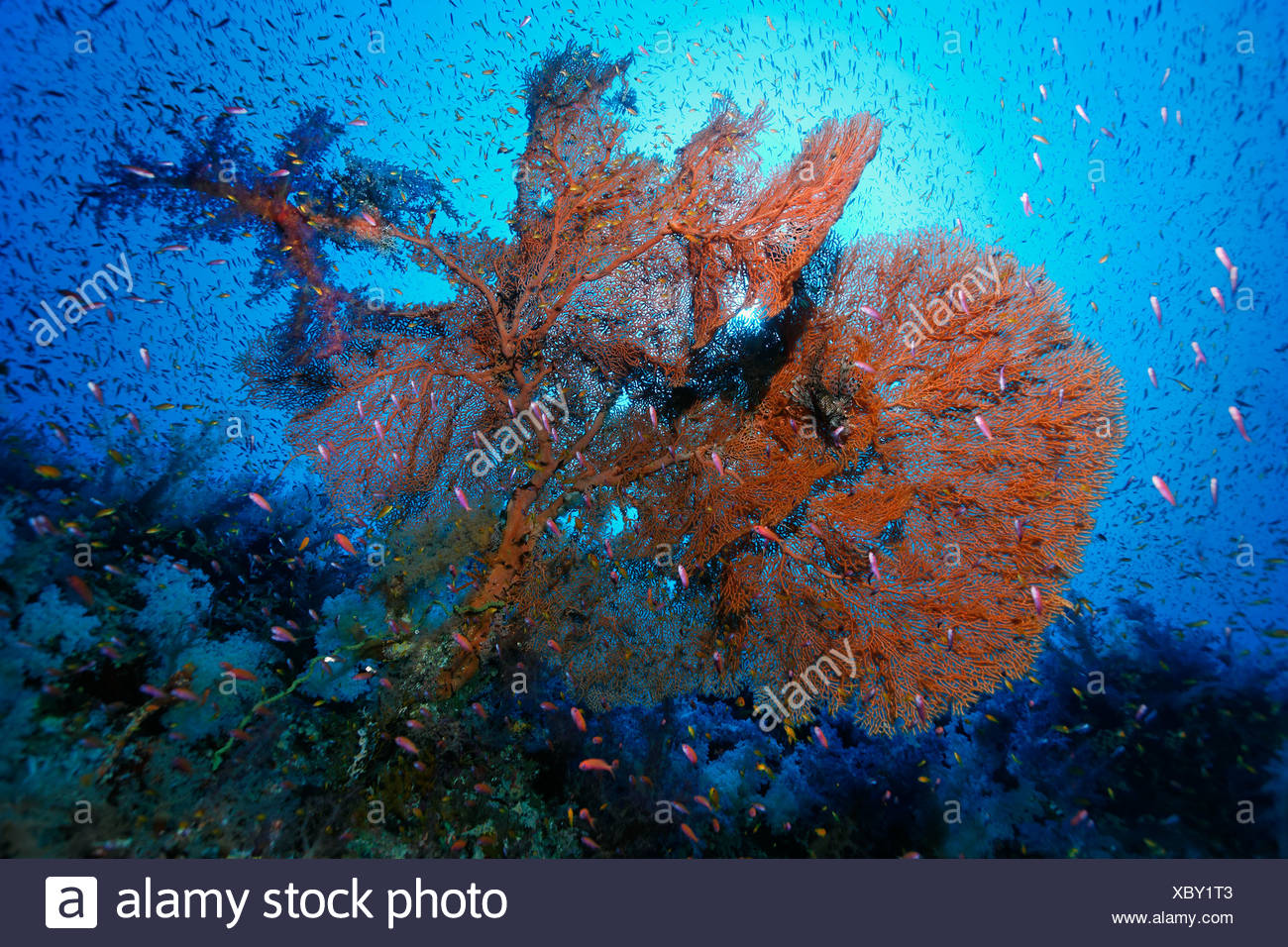 Sun shining through the water surface, large Sea Fan (Annella mollis), Fairy Basselets (Pseudoanthias sp.), Hurghada - Stock Image