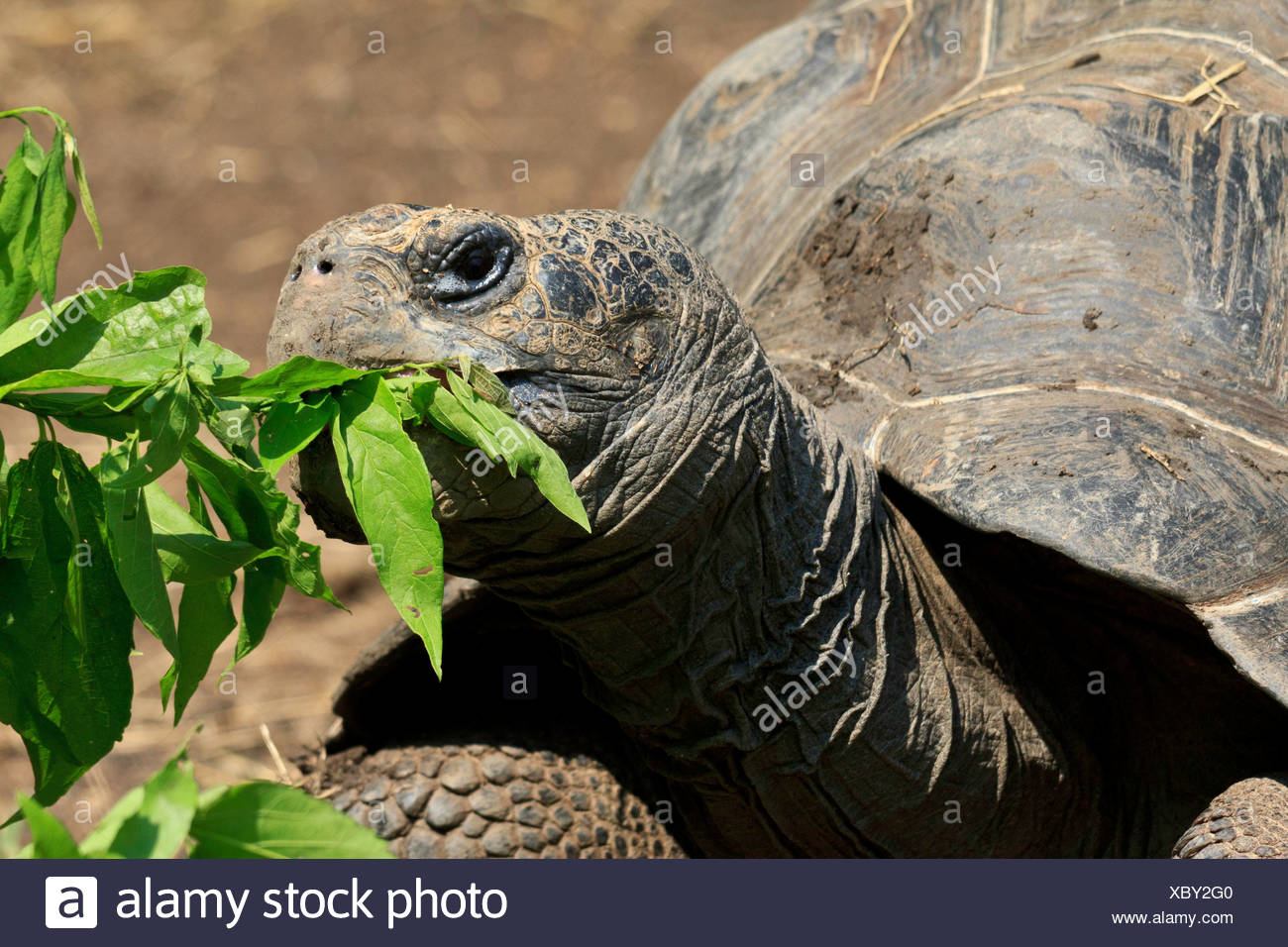Animalia, Chordata, Dallas Zoo, Galápagos tortoise, geochelone nigra, Giant tortoise, largest living tortoise, reptilia, Testudi - Stock Image