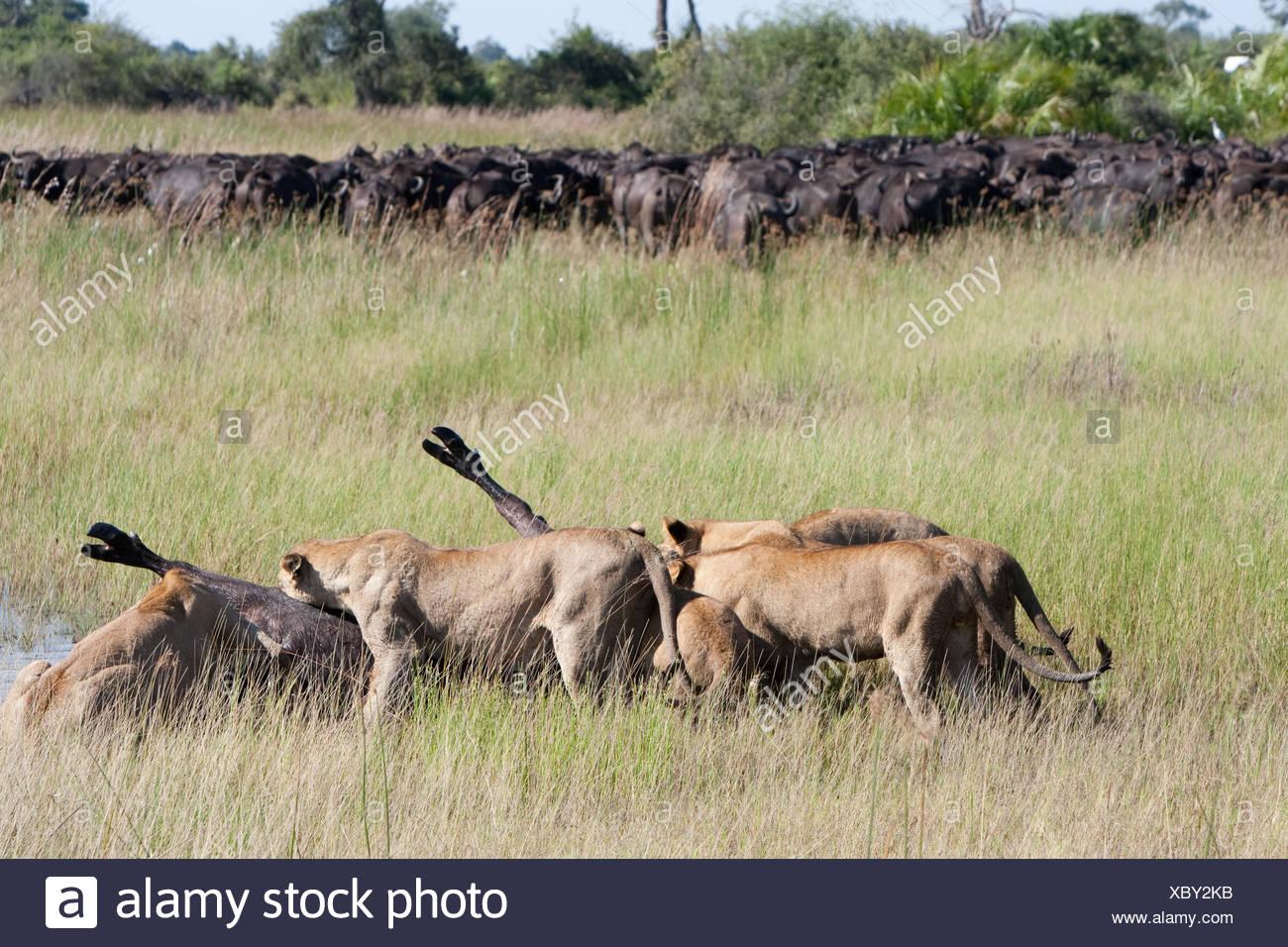 Female South African lions feeding on a freshly killed Cape buffalo. - Stock Image