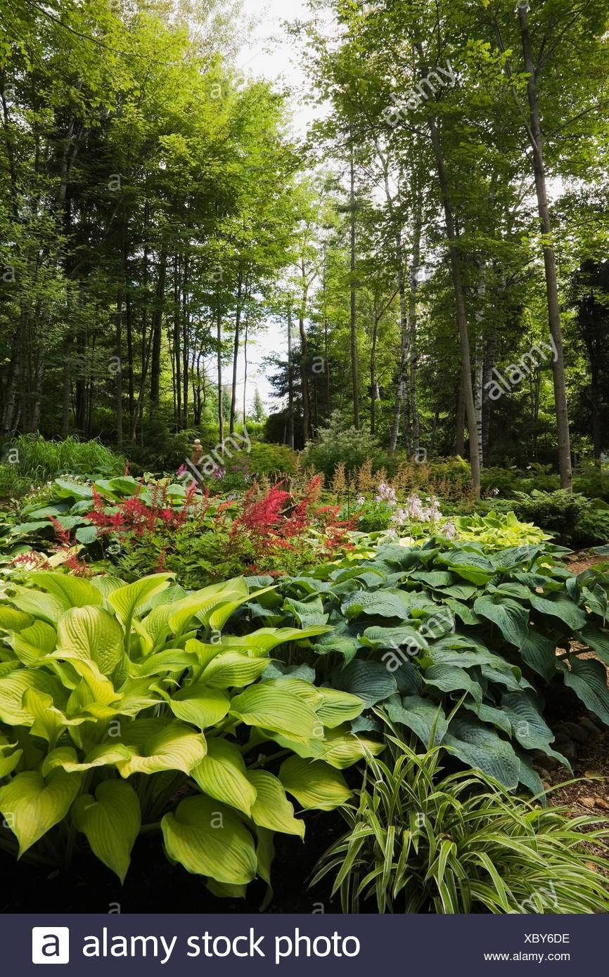 Woodland With Hosta Plants And Red Astilbes Stock Photo 282724890