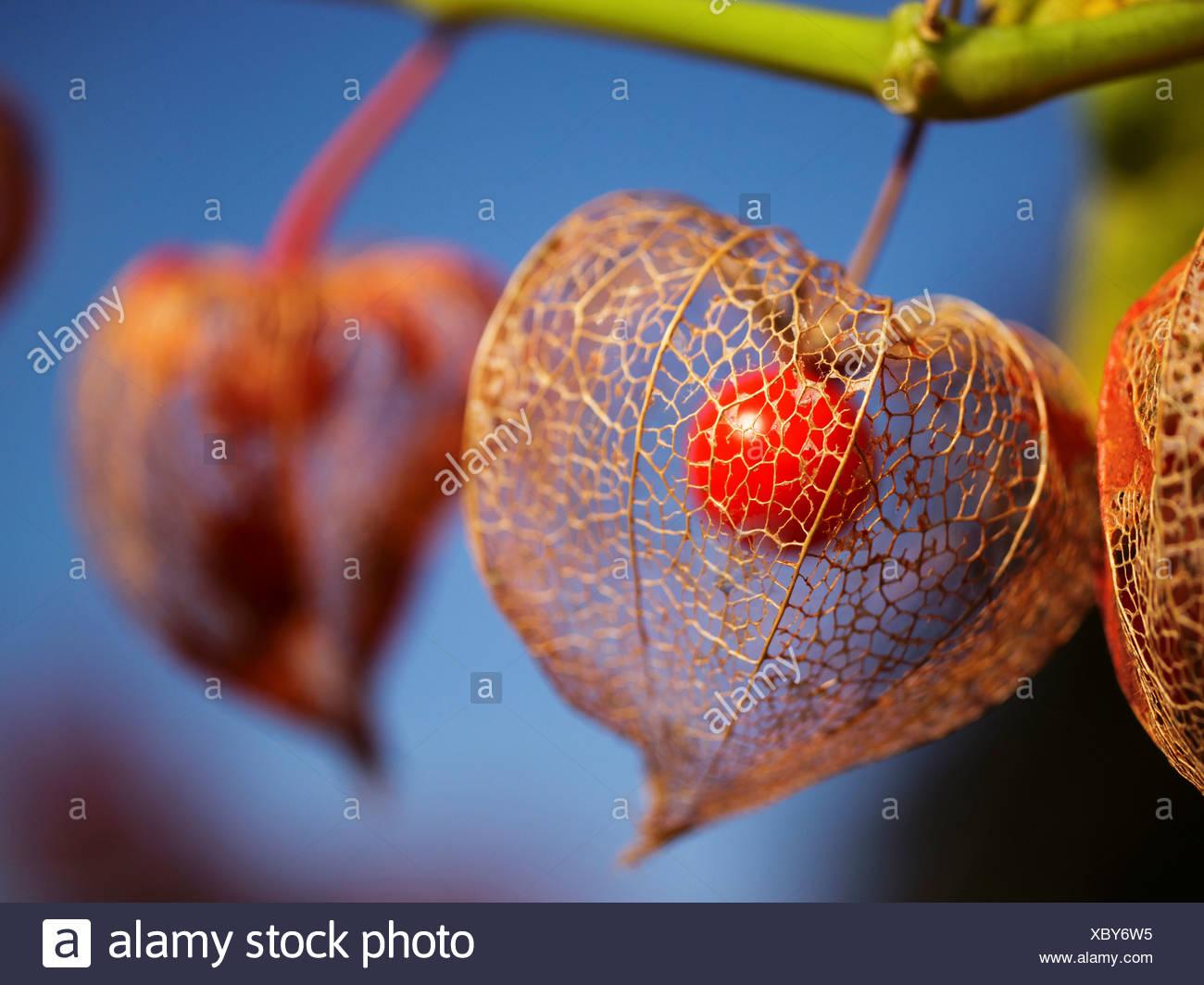 berry, vein, leaf-vein, nervure, autumn, fall, groundcherry, ground cherry, ground cherry, lampion, Chinese lantern, nightshade - Stock Image