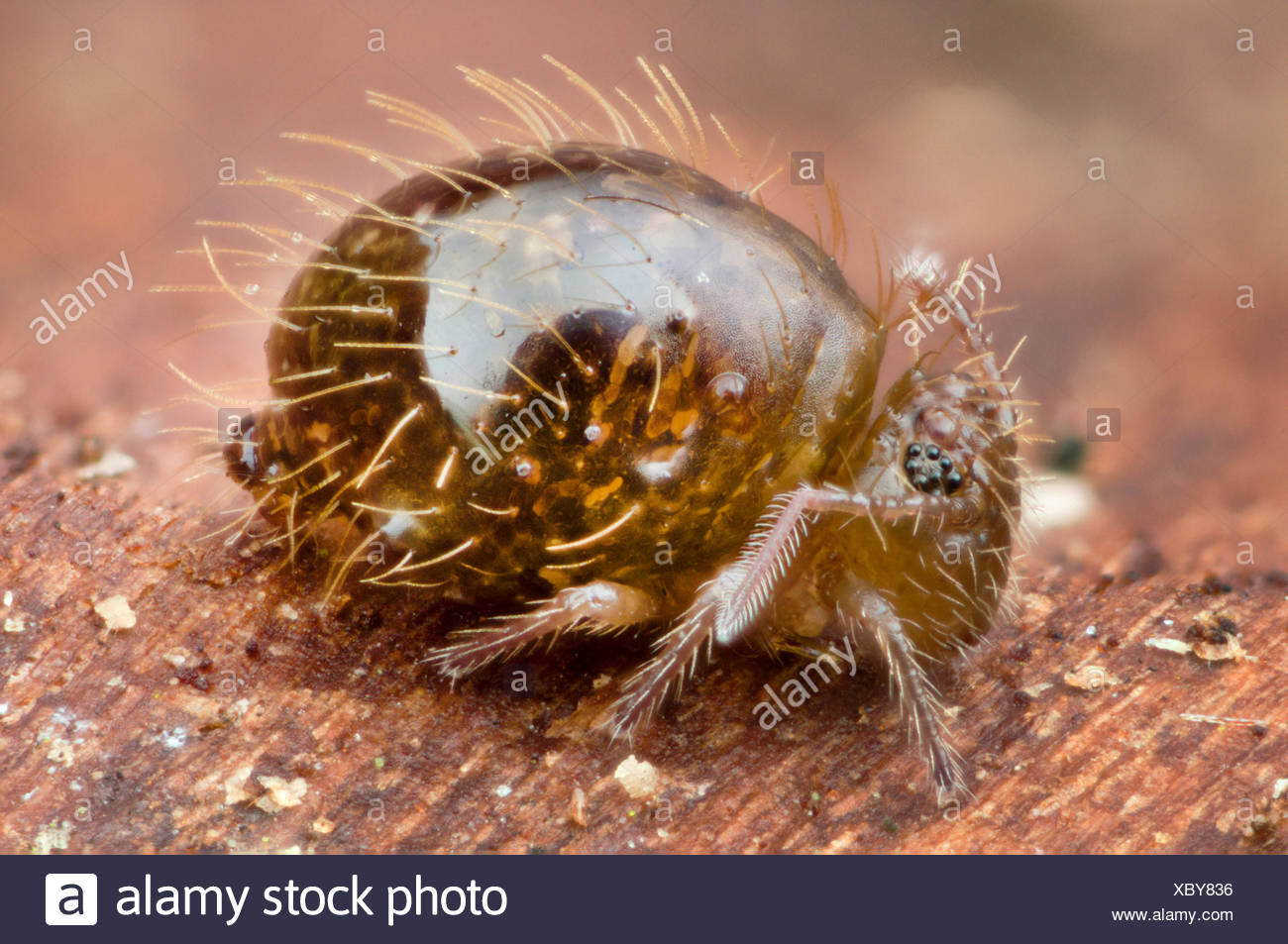 Springtail (Allacma fusca), single individual, Germany - Stock Image