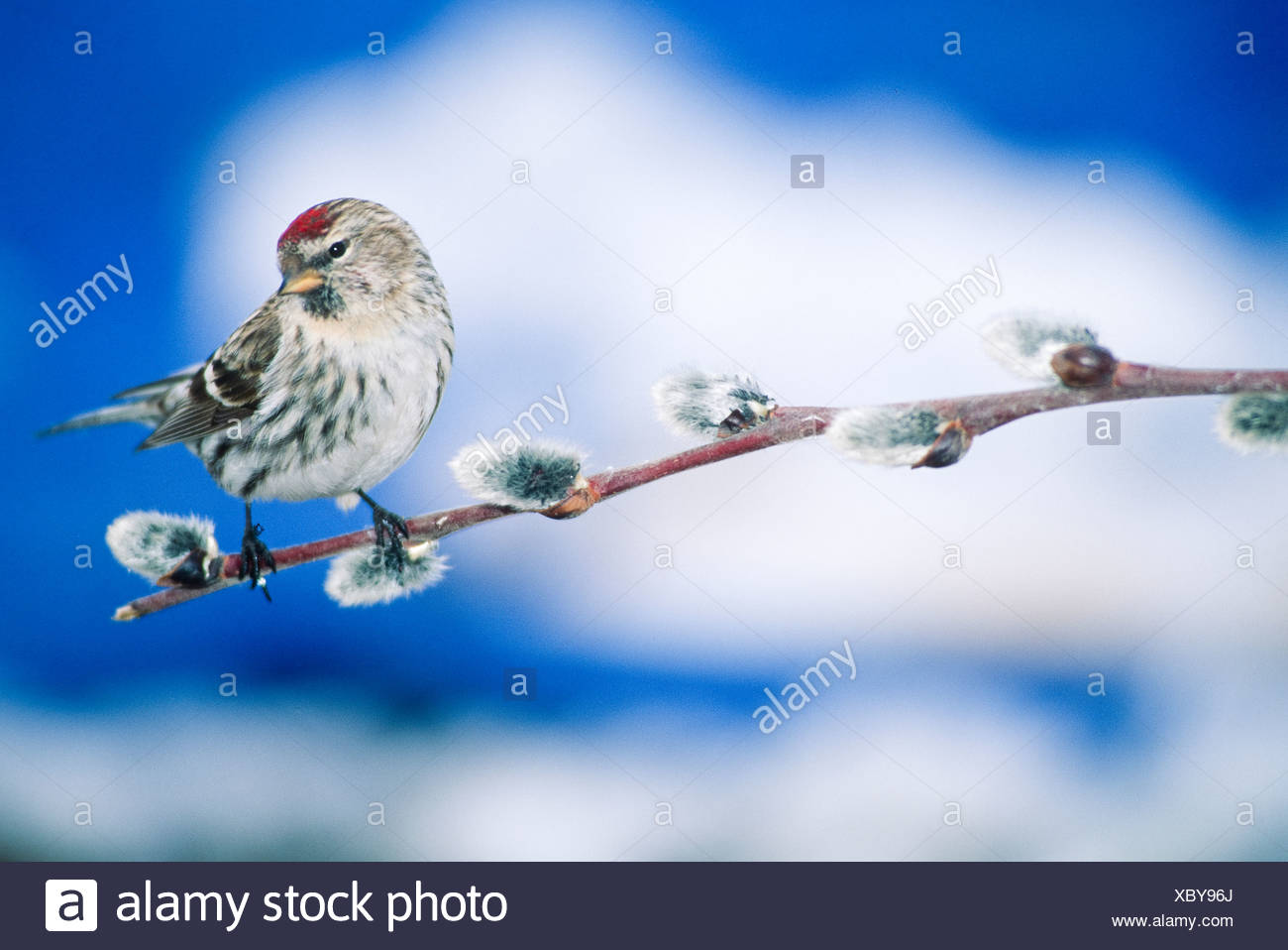 Common Redpoll. The Redpolls are a group of small passerine birds in the finch family Fringillidae which have characteristic red markings on their hea - Stock Image