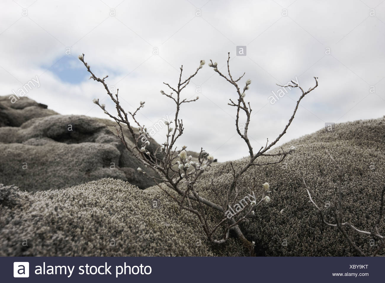 Bare tree among lava rocks - Stock Image