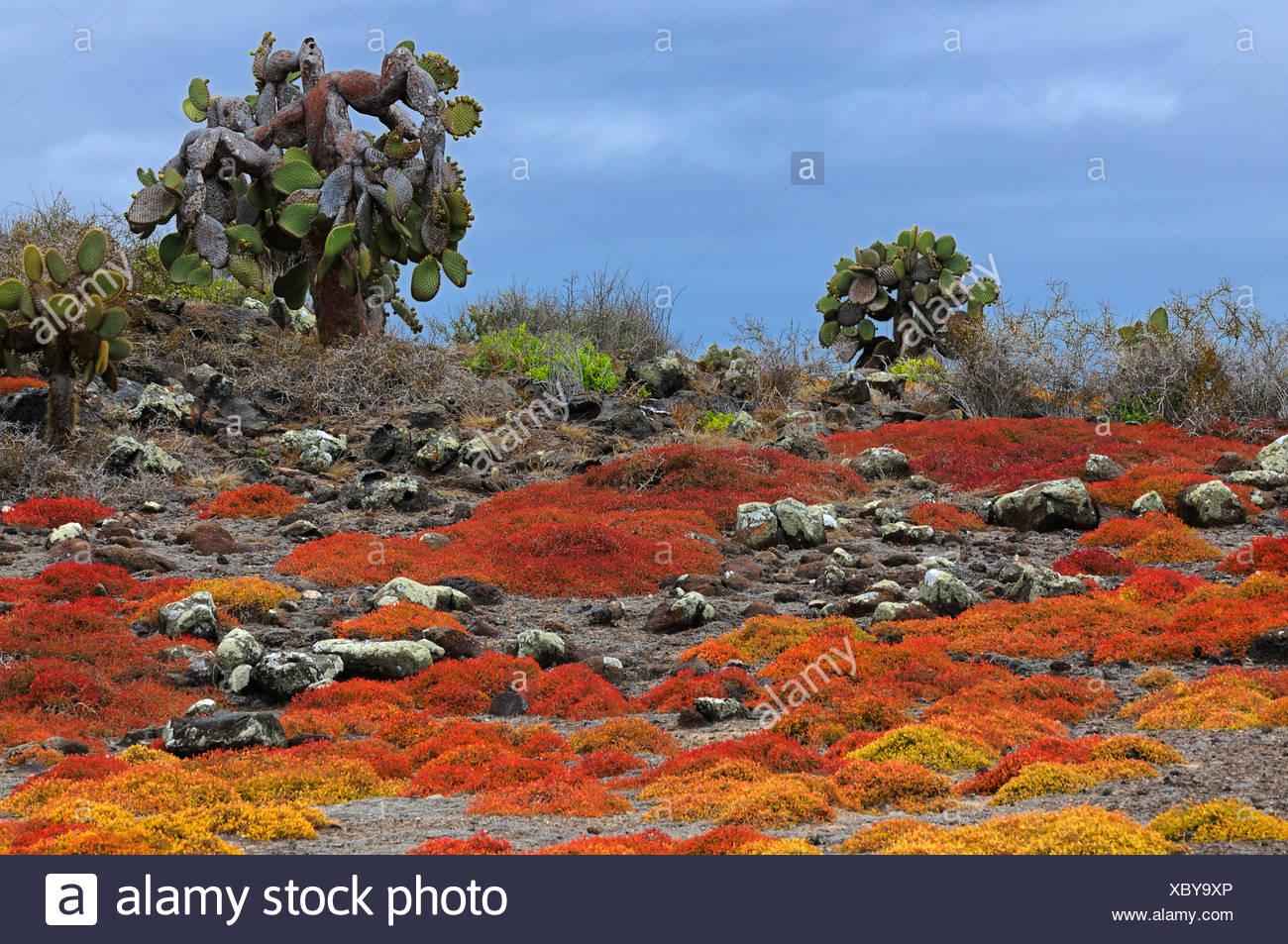 Opuntias (Opuntia echios) growing out of a carpet of Galapagos sesuvium, Plaza Sur Island, Galapagos Islands, Ecuador, South Am - Stock Image
