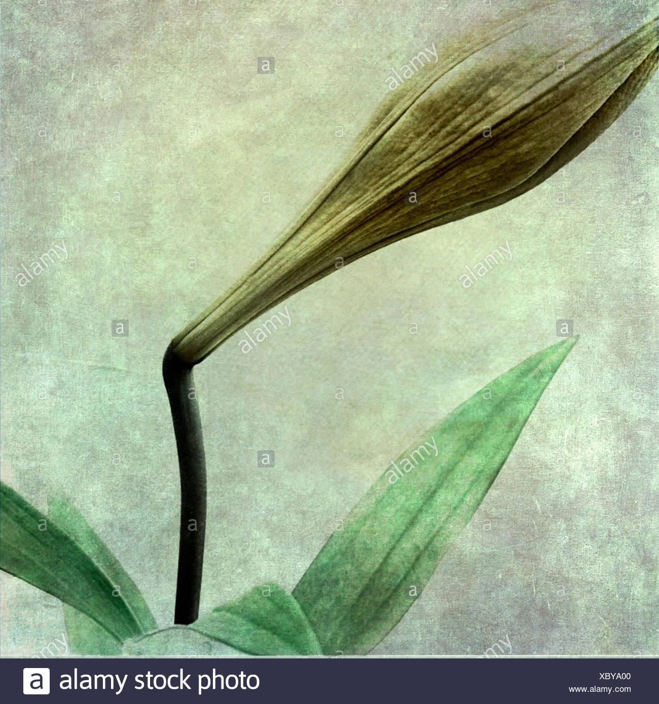 textured image of arum lilly - Stock Image