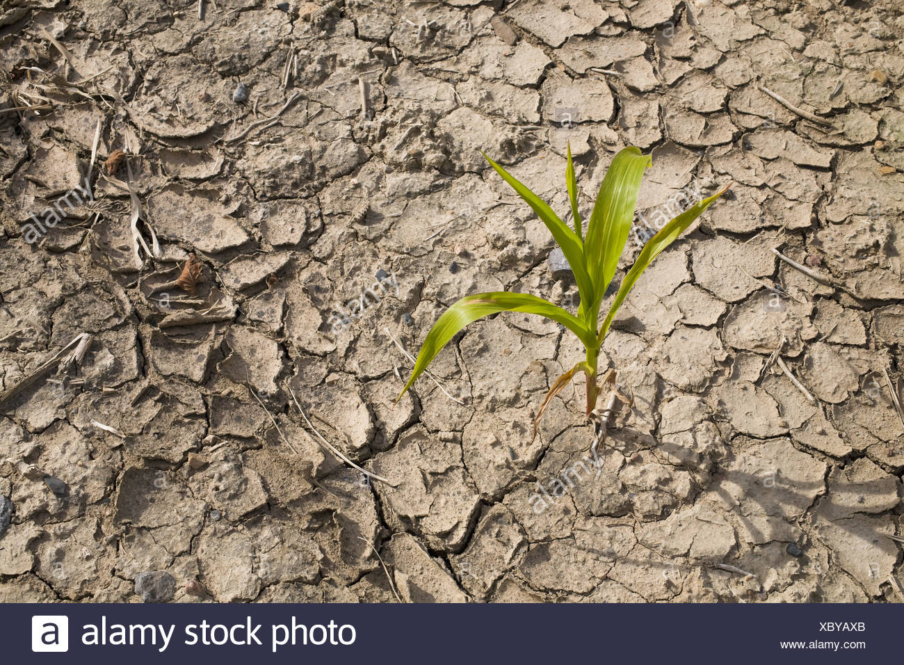 Corn in parched field - Stock Image