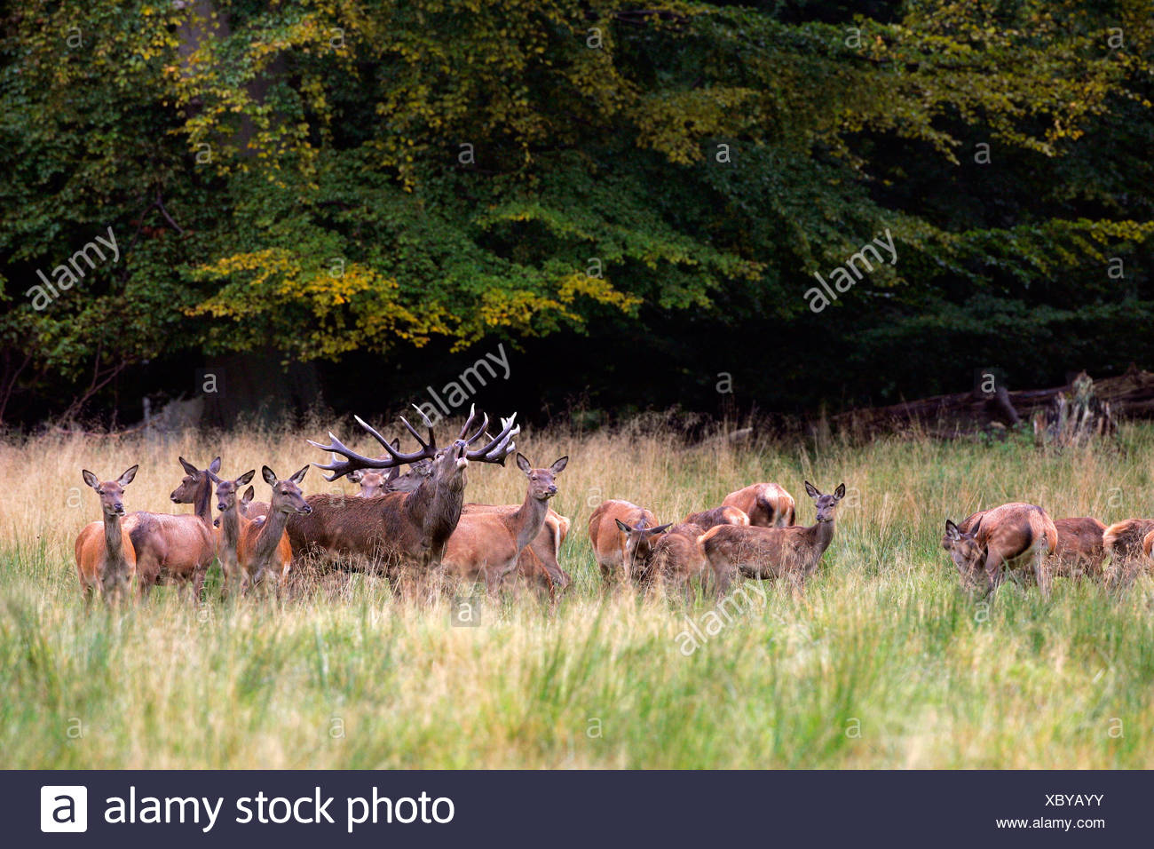 Belling red stag during the rut with hinds - red deers in heat (Cervus elaphus) Stock Photo
