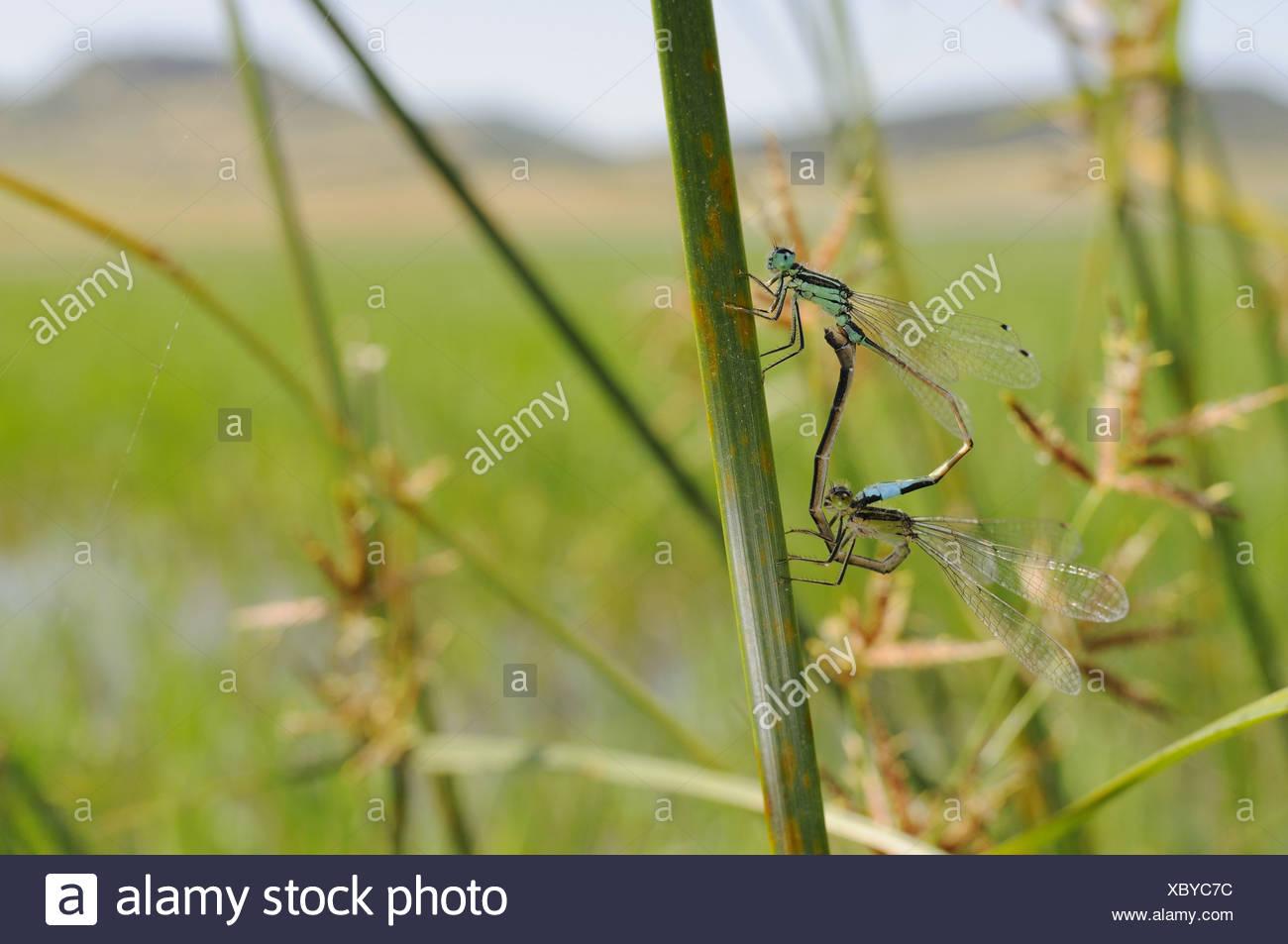 damselfly freshwater insect Invertebrates Ischnura genei Italy mating Odonata rare species Sardinia invertebrate invertebrates Stock Photo