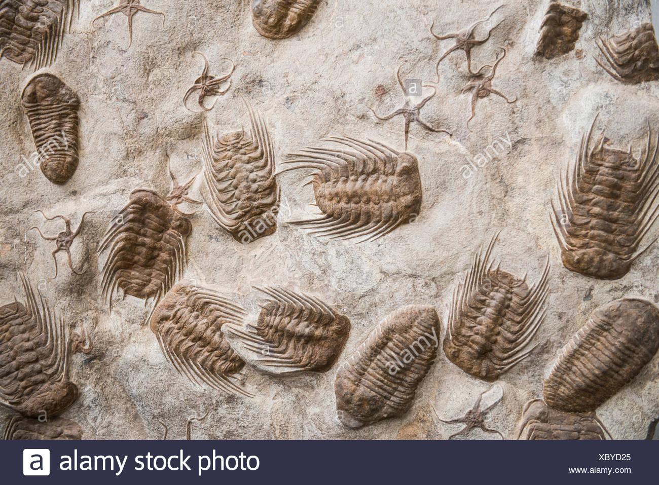 Trilobita, fossil trilobites, found near Rissani, Morocco - Stock Image