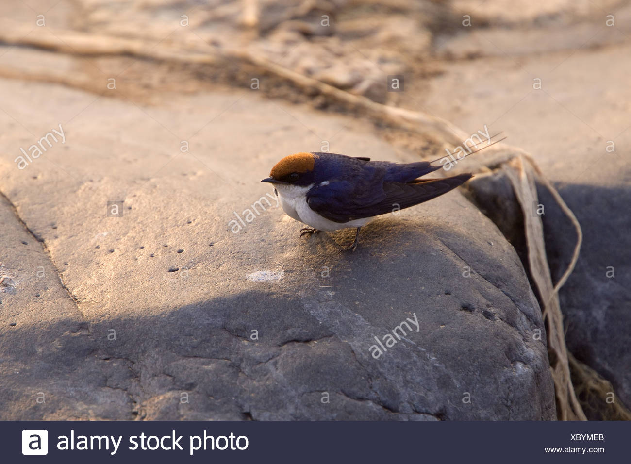 Wiretailed Swallow - Kruger Nat Pk South Africa - Stock Image