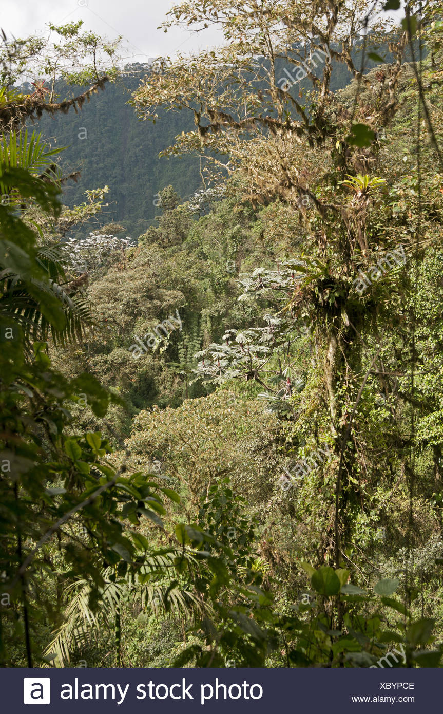Andean cloud forest,Tandayapa region, Ecuador - Stock Image