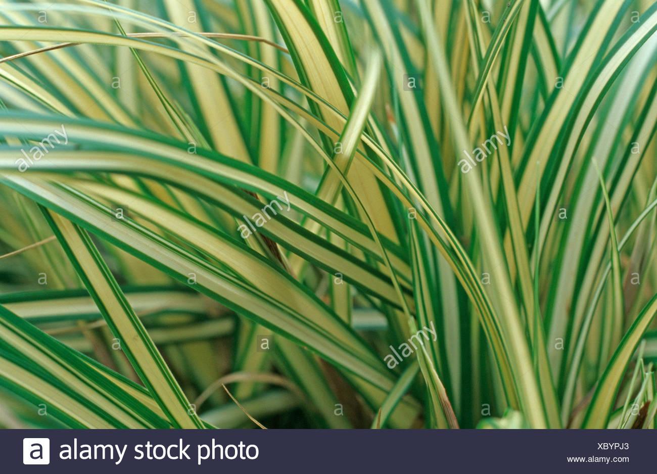 Japanese Sedge (Carex Evergold, Carex hachijoensis 'Evergold', Carex oshimensis 'Evergold'), leaves - Stock Image