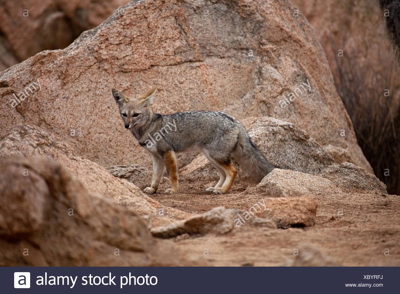 Chile, Parque Nacional Pan de Azucar, fox - Stock Image