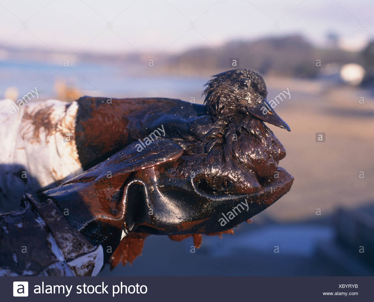 Common Scoter covered in light crude oil Stock Photo