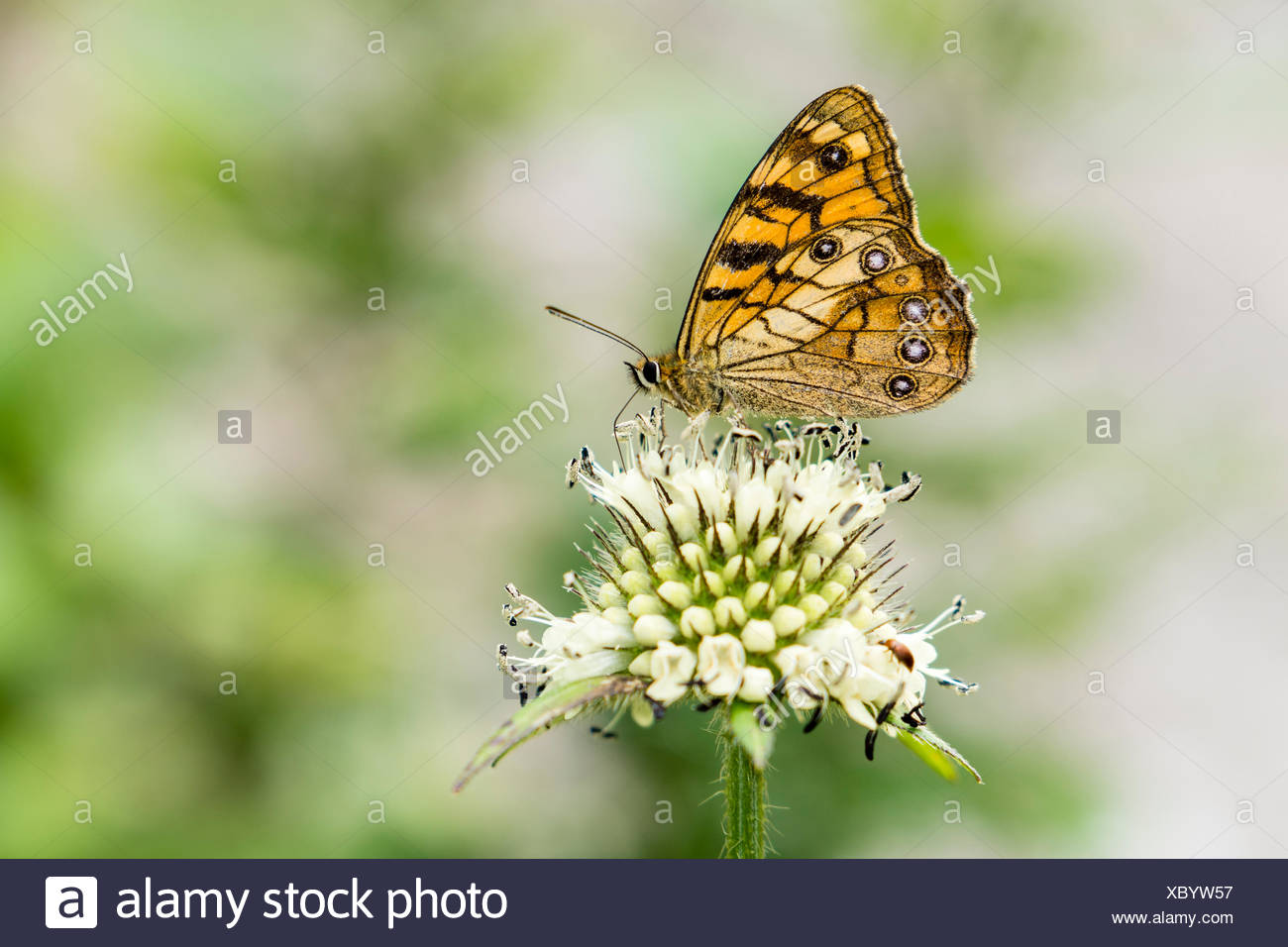 A yellow butterfly is siting on a white flower, Lower Pisang, Manang District, Nepal - Stock Image