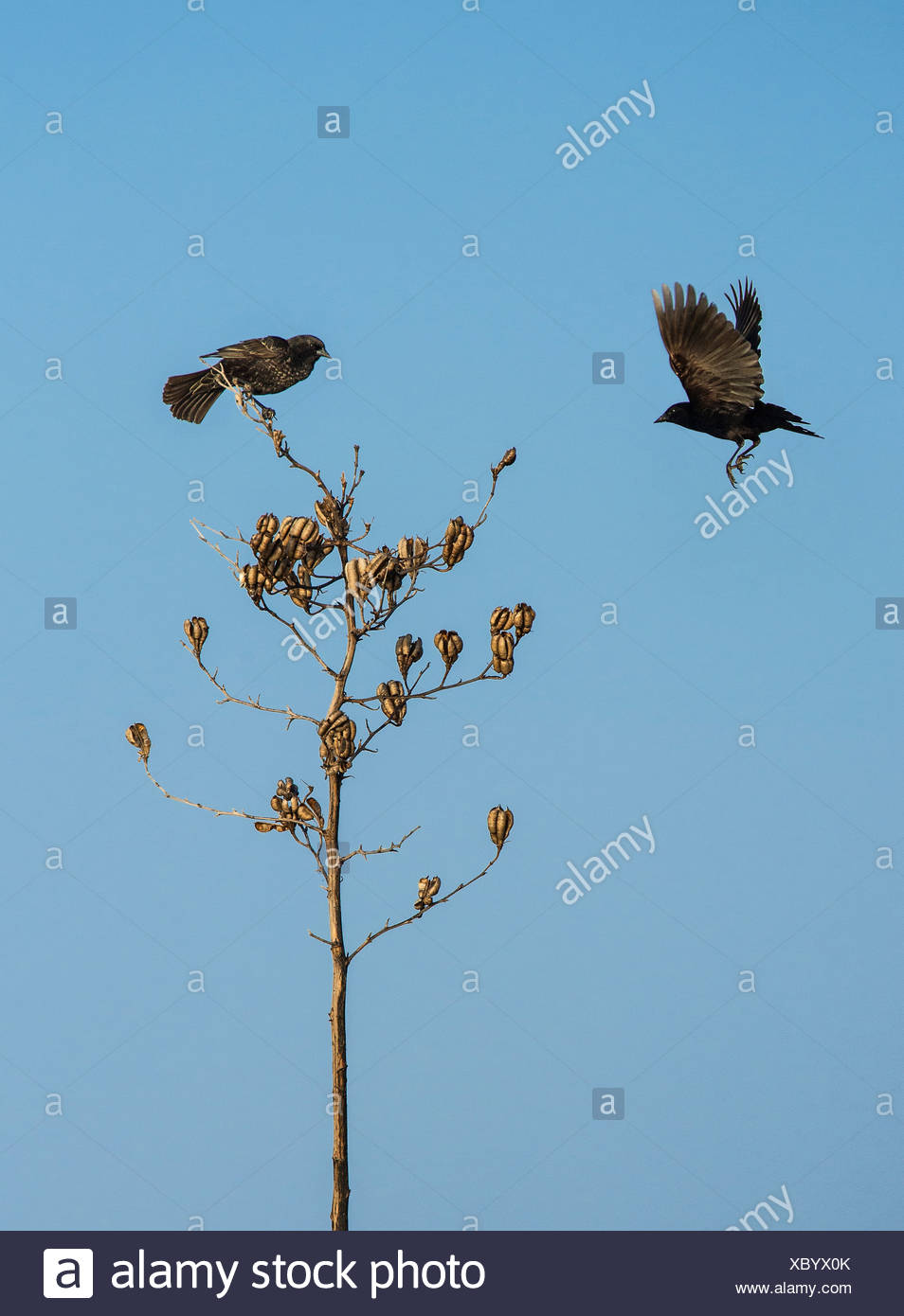 Two blackbirds on a dried plant, Delaware, USA - Stock Image