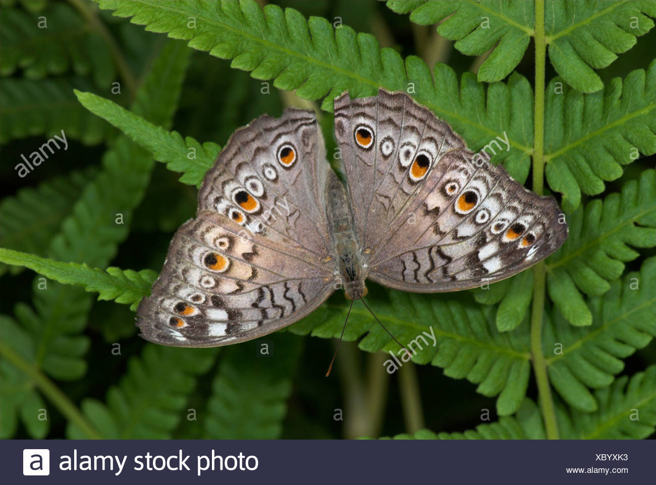 Grey Pansy Butterfly Precis atlites Asia - Stock Image