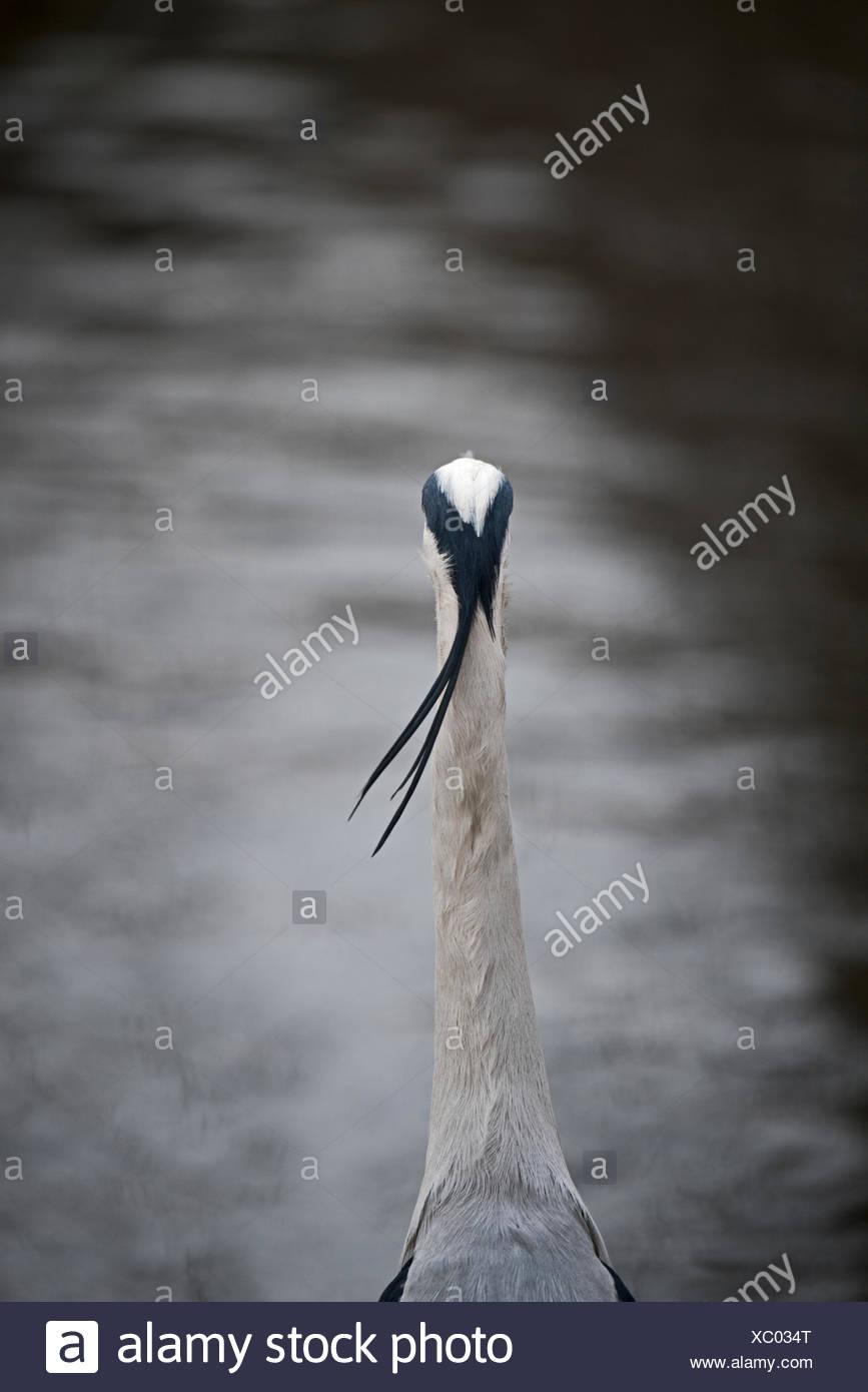 Grey Heron Ardea cinerea in Regents Park Central London UK - Stock Image
