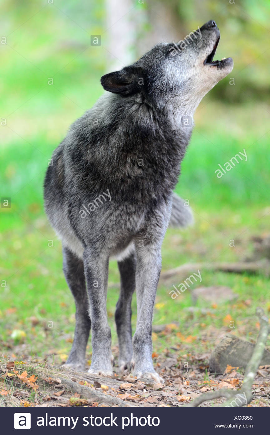 Male Timberwolf or wolf howling (Canis lupus ssp. occidentalis) captive, Domaine de Sainte Croix, Rhodes, France, Autumn 2013. - Stock Image