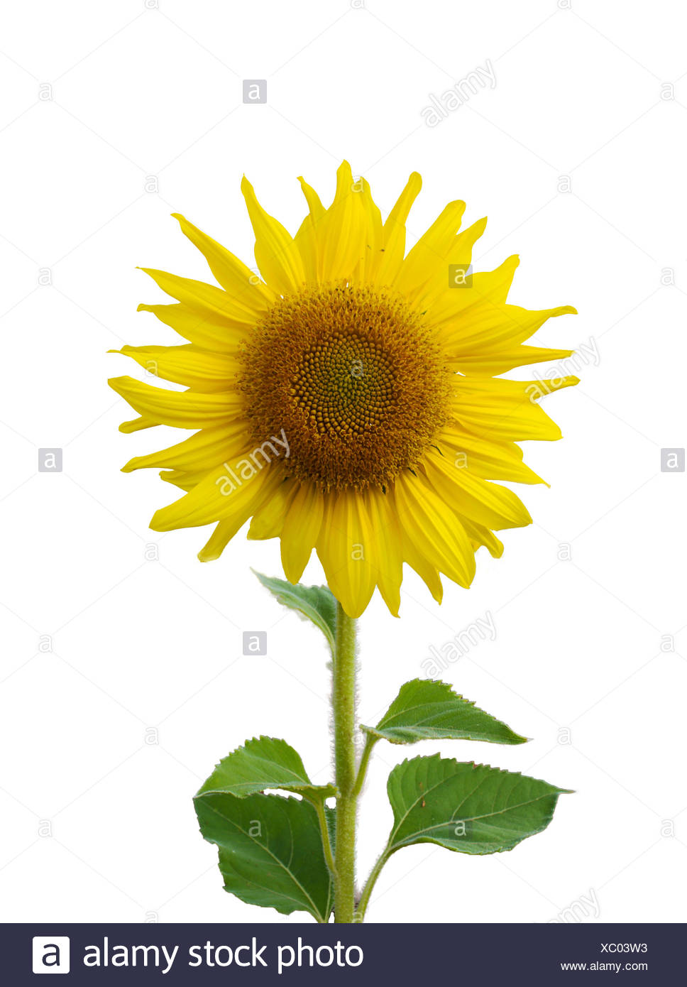 Sunflower blossoming isolate - Stock Image
