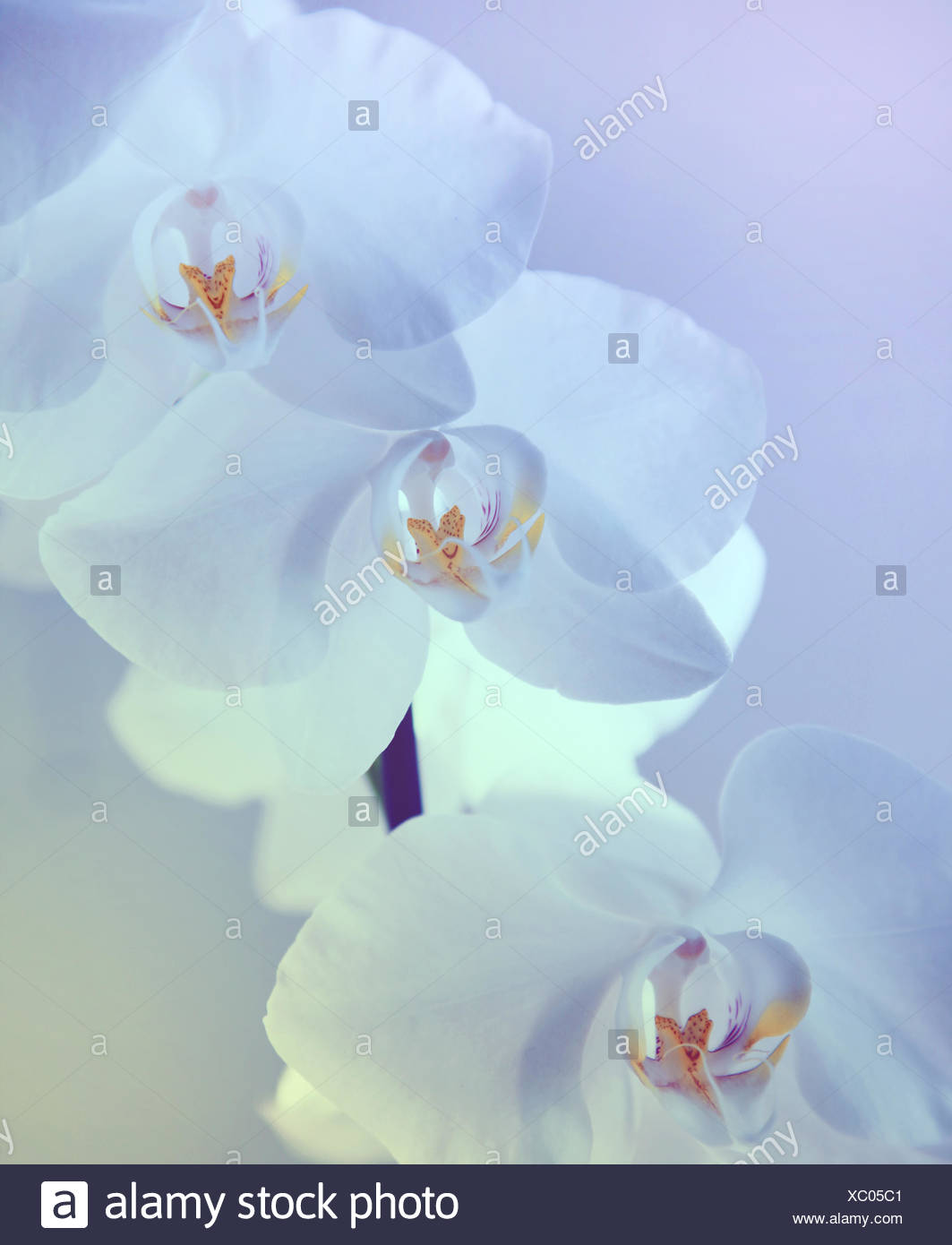 White orchid in lila - Stock Image