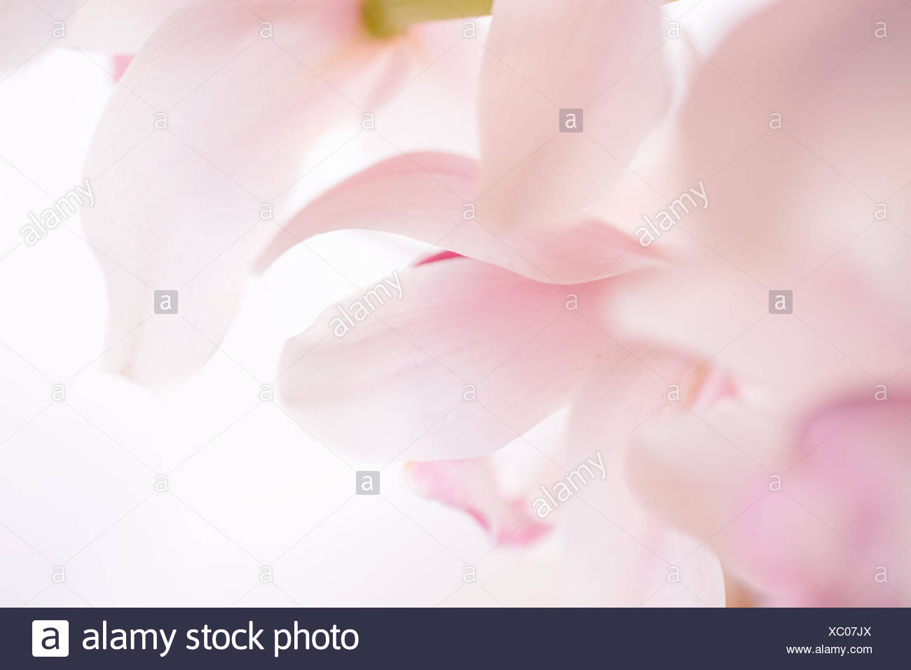 Enchanting pastel pink orchid - Stock Image