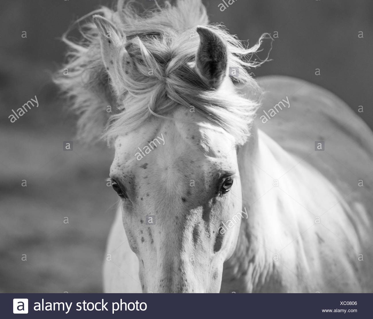 Head and mane of grey Andalusian stallion running in bullfighting arena, Southern Spain, Europe. - Stock Image